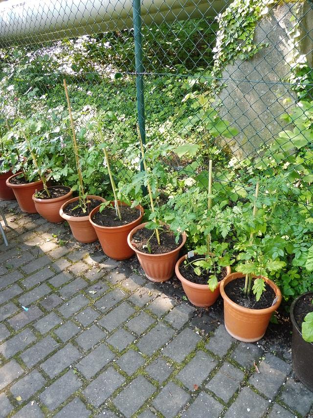 ... und auch die schönsten Tomaten!